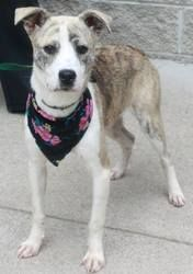 Piper Chapman is an adoptable Shepherd Dog in Jersey City, NJ. Piper Chapman is ready for a life of freedom now that she's out of the shelter. Piper is a 5 month old shepherd/plot hound mix who will b...