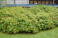 Cornus Sericea 'Kelseyi' h max 75cm bois rouge
