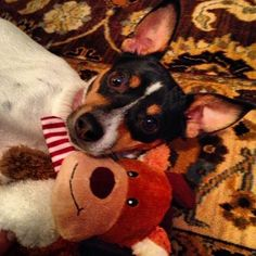Rat Terrier  [X:  Ratties have such wonderful personalities!  Great with kids, great with other animals, great watchdogs, you-name-it!]