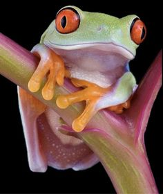 A baby red-eyed tree frog.