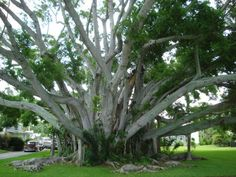 Somewhere in Bradenton, Florida. the trees are huge and so different