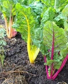 Chard is an easy to grow and hardy vegetable which is great for beginner gardeners|Charms of Growing Chard