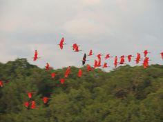 scarlet ibis bird - Google Search
