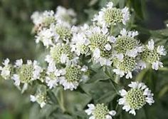 Hairy Mountain Mint, zones 4-8, bee  magnet, 3 ft tall x 18 inches wide, full sun to partial shade, med to dry soil