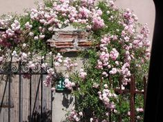 rosas trepadeiras - Pesquisa Google