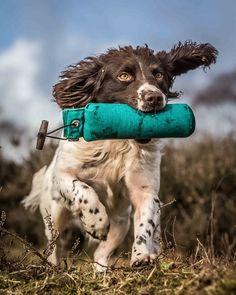Working Springer Spaniel by Andy Biggar (Dog Photographer)