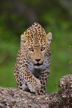 beautiful-wildlife:Incoming EyesbySharad Agrawal
