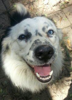 Murphy. Blue merle border collie