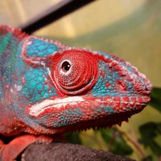Pascal Panther Chameleon
