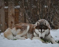 Siberian Husky laying in snow