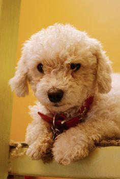 poodle puppy ... Dog Training Video Portal http://dogtrainingvideosonline.info/