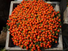 Lovely orange beads of colour to brighten any floral arrangement or even your kitchen window sill. come and see us for more inspiration and unusual plants fro the home....