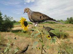 dove decoys sunflowers2