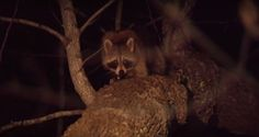 These Hounds Make Raccoon Hunting Look Easy [VIDEO]