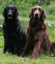 Black and brown coat coloration of the Flat Coated Retriever Curly Coated Retriever, Border Terrier, Cairn Terrier, Boston Terrier, Clumber Spaniel, Cocker Spaniel, Bearded Collie, Afghan Hound, Bichon Havanês