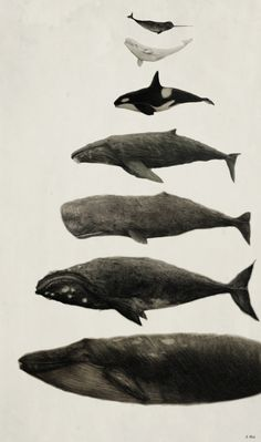 asterionellaa: Whales! From top to bottom: Narhwal, Beluga Whale, Orca, Humpback Whale, Sperm Whale, Right Whale, and Blue Whale (Approx size differences)