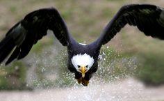 eagle by michaelrumiz.deviantart.com on @deviantART