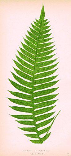 "Lowe's Ferns - ""LOMARIA ATTENUATA"" - Chromolithograph - 1856"