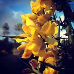 Flor do toxo!.