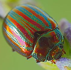 Rosemary beetle - They may be pretty to look at, but these colorful bugs are attacking garden plants across Britain.