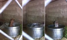 Viral video shows a hot and happy hyena taking a bath