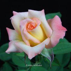 miniature rose Hello Gorgeous