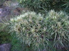 Hakea corymbosa from southwest WA Erosion Control, Australian Plants, How To Attract Birds, Garden Guide, Plant Sale, Types Of Soil, Growing Flowers, Native Plants, Hedges