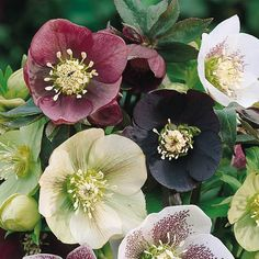 Beautiful Shade - Loving Flowers - Hellebores are also known as Christmas rose or Lenten rose. They need part to full shade and want to be planted in a well – drained soil. While growing, you should k Plants That Like Shade, Shade Loving Flowers, Part Shade Plants, Part Shade Flowers, Types Of Flowers, Beautiful Flowers, Shade Perennials, Flowers Perennials, Planting Flowers