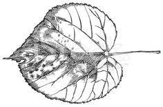http://i.istockimg.com/file_thumbview_approve/22024642/6/stock-illustration-22024642-linden-leaf.jpg
