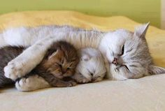 A momma cat sleeping with her two kitties