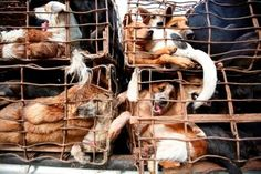 YOU too can be a catalyst for change in Vietnam. Please join with the country's citizens in signing the petition and end the brutal slaughter of millions of Vietnamese dogs every year.  Please CLICK THIS LINK to sign the petition! https://savedogs.soidog.org/vietnam