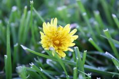 Dandellions plant