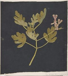 Botanical Study  Attributed to Mary Delany  (British, Coulston, Wiltshire 1700–1788 London)