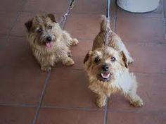 all about norfolk terrier - Google Search