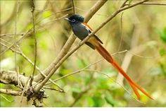 Paradise Flycatcher Photo by Elmar Weiss