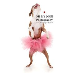 """Emma dances just for herself! #EmmaAndWaldo #boston #terrier #dog #dogsofinstagram #dogstagram #dogslovetutus"" Photo taken by @ohmydogphoto on Instagram, pinned via the InstaPin iOS App! http://www.instapinapp.com (01/18/2015)"