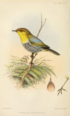 Yellow-throated woodland warbler, Ibis (quarterly journal of the British Ornithologists' Union), Vol. IV, 1862.