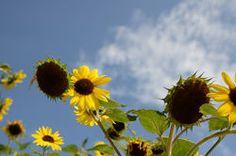 Katalog Manager | Shutterstock Dandelion, Management, Flowers, Plants, Dandelions, Plant, Taraxacum Officinale, Royal Icing Flowers, Flower