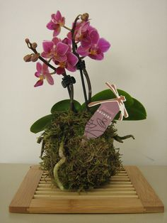 Orquídea kokedama
