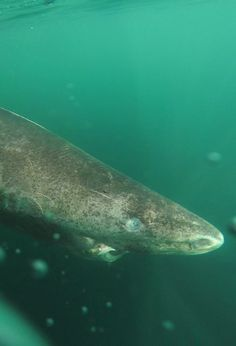 This Huge, Slow, Weird-Looking Deep-Sea Shark Can Live For 400 Years