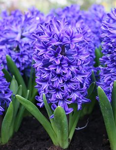 Genus: Hyacinthus Common name: Hyacinth Vase life: days Available: Nov-Apr Hyacinth Plant, White Hyacinth, Hyacinth Flowers, Purple Flowers, Bulb Flowers, Delft, Beautiful Gardens, Beautiful Flowers, Beautiful Pictures