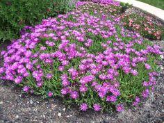 Delosperma cooperi à fleurs roses - un bon choix pour les jardins secs