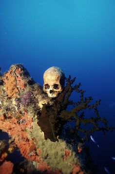 World War II skull. Skull of a Japanese serviceman resting on coral. Photographed in Truk Lagoon, Micronesia, the site of a 1944 World War II battle where many Japanese ships were sunk by American forces. Thousands of sailors and aviators died, and soon after the war the site was declared a war grave. It is now also a popular tourist attraction for divers, who come to explore the remains of this sunken fleet.