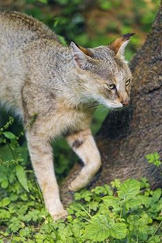 Next picture of a jungle cat. Small Wild Cats, Big Cats, Cats And Kittens, Cute Cats, Chausie Cat, Black Footed Cat, Wild Cat Species, Domestic Cat Breeds, Sand Cat