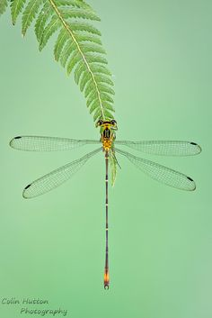 synplynatural: Spreadwing damselfly by Colin Hutton Photography on Flickr.