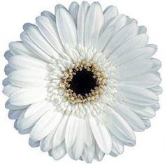 Gerbera White is a pretty White cut flower.