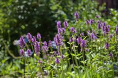 Wood Betony (Stachys Officinalis) looks lovely this summer!