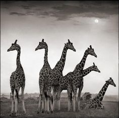 Bid now on Giraffe Fan, Aberdares by Nick Brandt. View a wide Variety of artworks by Nick Brandt, now available for sale on artnet Auctions. Nick Brandt, Wildlife Photography, Animal Photography, Beautiful Creatures, Animals Beautiful, Group Of Giraffes, Giraffe Family, Baby Animals, Cute Animals