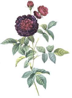 rose Botanical Flowers, Botanical Prints, Floral Prints, Botanical Drawings, Botanical Illustration, Vintage Prints, Vintage Floral, Sibylla Merian, Impressions Botaniques
