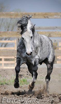 Arab - equestrian.ru